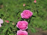 Historische Rose 'Louise Odier', Rosa 'Louise Odier', Containerware