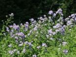 Hohe Dolden-Glockenblume, Campanula lactiflora, Topfware