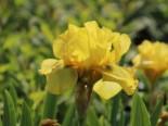 Hohe Schwertlilie 'Ola Kala', Iris x barbata-elatior 'Ola Kala', Topfware