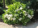 Tellerhortensie 'Lanarth White', 30-40 cm, Hydrangea macrophylla 'Lanarth White', Containerware