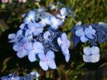 Tellerhortensie Endless Summer ® 'Twist-n-Shout' ® (Blau), 20-30 cm, Hydrangea macrophylla Endless Summer ® 'Twist-n-Shout' ® (Blau), Containerware