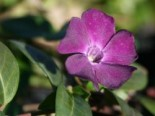 Immergrün 'Rubra' / 'Atropurpurea', 15-20 cm, Vinca minor 'Rubra' / 'Atropurpurea', Topfware