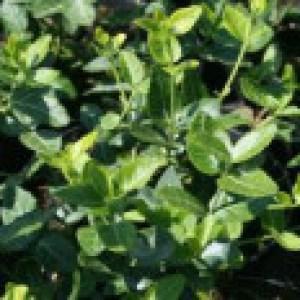 Immergrüne Kriechspindel, 15-20 cm, Euonymus fortunei var. radicans, Topfware
