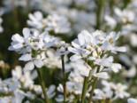 Immergrüne Schleifenblume 'Zwergschneeflocke', Iberis sempervirens 'Zwergschneeflocke', Topfware
