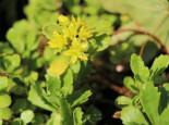 Immergrünes Fettblatt 'Immergrünchen', Sedum hybridum 'Immergrünchen', Topfware