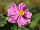 Japan-Herbst-Anemone 'Königin Charlotte', Anemone japonica 'Königin Charlotte', Containerware