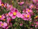 Japan-Herbst-Anemone 'Splendens', Anemone hupehensis 'Splendens', Containerware