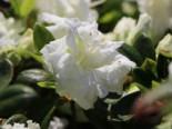 Japanische Azalee 'Eisprinzessin', 20-25 cm, Rhododendron obtusum 'Eisprinzessin', Containerware