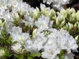 Japanische Azalee 'Feenkissen' ® (S), 20-25 cm, Rhododendron obtusum 'Feenkissen' ® (S), Containerware