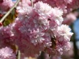 Japanische Hänge-Nelkenkirsche 'Kiku-shidare-Zakura', Stamm 80-100 cm, 100-125 cm, Prunus serrulata 'Kiku-shidare-Zakura', Stämmchen