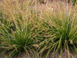 Japanische Segge, Carex morrowii, Containerware