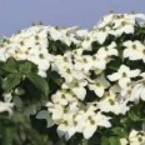 Japanischer Blumen-Hartriegel, 40-60 cm, Cornus kousa, Containerware