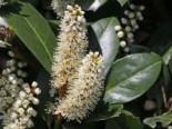 Kirschlorbeer / Lorbeerkirsche 'Mano', 40-50 cm, Prunus laurocerasus 'Mano', Containerware