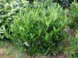 Kirschlorbeer / Lorbeerkirsche 'Otto Luyken', 20-30 cm, Prunus laurocerasus 'Otto Luyken', Containerware