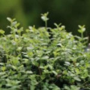Kleinblättrige Teppichspindel / Kriechspindel 'Minimus', 15-20 cm, Euonymus fortunei 'Minimus', Topfware