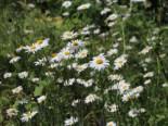 Kleine Margerite 'Maikönigin', Leucanthemum vulgare 'Maikönigin', Topfware