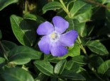 Kleines Immergrün 'Hawaii', Vinca minor 'Hawaii', Topfware