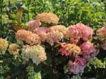 Kleinwüchsige Hortensie 'Preziosa', 30-40 cm, Hydrangea serrata 'Preziosa', Containerware