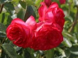 Kletterrose 'Antike 89' ®, Rosa 'Antike 89' ®, Wurzelware