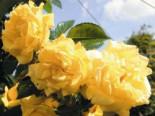 Kletterrose 'Dukat' ®, Rosa 'Dukat' ®, Wurzelware