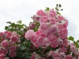 Kletterrose 'Jasmina' ®, Rosa 'Jasmina' ® ADR-Rose, Containerware