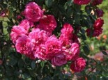 Kletterrose 'Laguna' ®, Rosa 'Laguna' ® ADR-Rose, Containerware