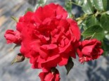 Kletterrose 'Sympathie' ®, Rosa 'Sympathie' ®, Wurzelware