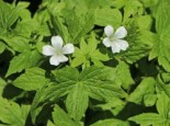 Knotiger Bergwald-Storchschnabel 'Silverwood', Geranium nodosum 'Silverwood', Topfware