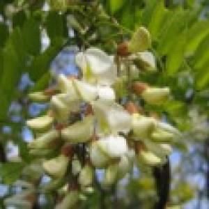 Korkenzieher-Akazie 'Tortuosa', 60-100 cm, Robinia pseudoacacia 'Tortuosa', Containerware