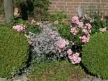 Kriechendes Garten Schleierkraut 'Compacta Plena', Gypsophila repens 'Compacta Plena', Topfware
