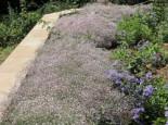 Kriechendes Schleierkraut 'Rosenschleier', Gypsophila repens 'Rosenschleier', Topfware