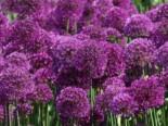 Kugel-Lauch 'Purple Sensation', Allium aflatunense 'Purple Sensation', Topfware