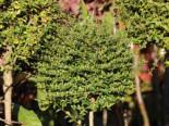 Kugel-Liguster, Stamm 60 cm, 80-100 cm, Ligustrum delavayanum, Stämmchen