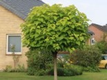 Kugel-Trompetenbaum 'Nana', Stamm 140-150 cm, 180-200 cm, Catalpa bignonioides 'Nana', Stämmchen