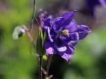 Kurzspornige Akelei, Aquilegia vulgaris, Topfware