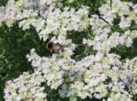 Langblättrige Scheinbergminze, Pycnanthemum tenuifolium, Topfware