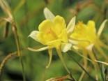 Langspornige Akelei 'Yellow Queen', Aquilegia chrysantha 'Yellow Queen', Topfware