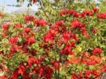Laubabwerfende Azalee 'Nabucco', 30-40 cm, Rhododendron luteum 'Nabucco', Containerware