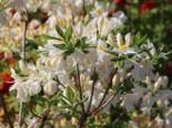 Laubabwerfende Azalee 'Persil', 40-50 cm, Rhododendron luteum 'Persil', Containerware