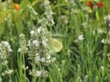 Lavendel 'Ellagance Ice', Lavandula angustifolia 'Ellagance Ice', Topfware