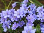 Leberblümchen, Hepatica nobilis, Topfware