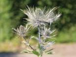 Mannstreu 'Blue Star', Eryngium alpinum 'Blue Star', Topfware