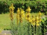 Mediterrane Junkerlilie, Asphodeline lutea, Topfware
