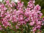 Meyer's Flieder 'Pink Perfume' ®, 40-60 cm, Syringa meyeri 'Pink Perfume' ®, Containerware
