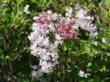 Meyer's Zwerg-Flieder Flowerfesta 'White', 30-40 cm, Syringa meyeri Flowerfesta 'White', Containerware