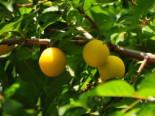 Mirabelle 'Miragrande' (S), Stamm 40-60 cm, 120-160 cm, Prunus syriaca 'Miragrande' (S), Containerware