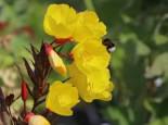 Nachtkerze 'Erica Robin', Oenothera tetragona 'Erica Robin', Topfware