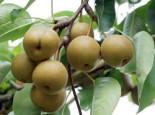 Nashi / Asienbirne / Asiatische Apfelbirne 'Kosui', Stamm 40-60 cm, Pyrus pyrifolia 'Kosui', Containerware
