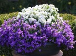 Niedliche Glockenblume 'Blue Baby', Campanula cochleariifolia 'Blue Baby', Topfware