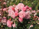 Nostalgie®-Beetrose 'Mariatheresia' ®, Stamm 60 cm, Rosa 'Mariatheresia' ®, Stämmchen